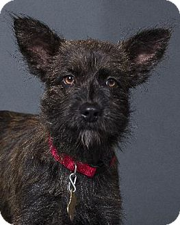 Cairn Terrier Mix Dog for adoption in Pt. Richmond, California - YODLE