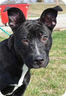 Labrador Retriever/American Pit Bull Terrier Mix Dog for adoption in Trenton, Missouri - Raven