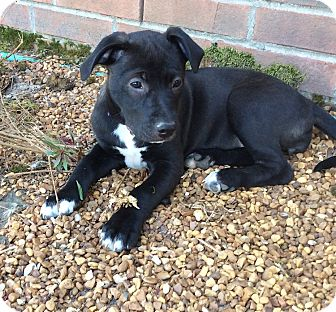 Labrador Retriever/American Pit Bull Terrier Mix Puppy for adoption in Greenfield, Wisconsin - Tippy