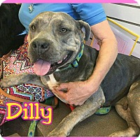 Adopt A Pet :: Dilly - Mesa, AZ