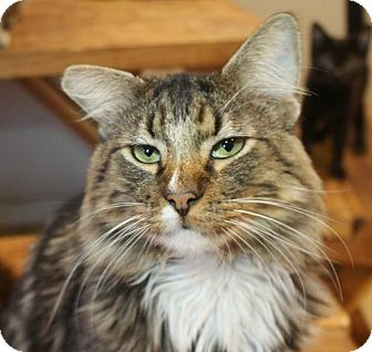 Maine Coon Cat for adoption in Los Angeles, California - Freeman