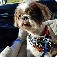 Shih Tzu Mix Dog for adoption in Sparta, New Jersey - Wrinkles