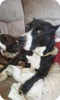 Boxer/Labrador Retriever Mix Dog for adoption in Charlotte, North Carolina - CORINA