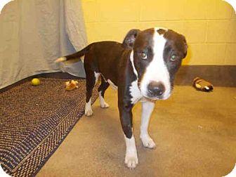 American Bulldog Mix Dog for adoption in Upper Marlboro, Maryland - WILLOW