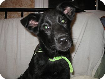 German Shepherd Dog/Labrador Retriever Mix Puppy for adoption in Greeneville, Tennessee - Capri