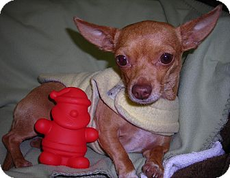 Chihuahua Dog for adoption in El Cajon, California - Gigi