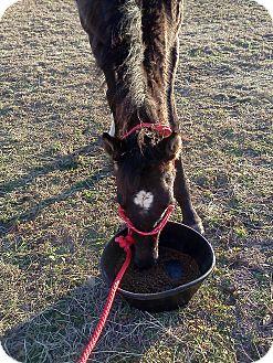 Quarterhorse Mix for adoption in Simms, Texas - Bo