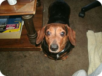 Dachshund Dog for adoption in Portland, Oregon - ZIGGY