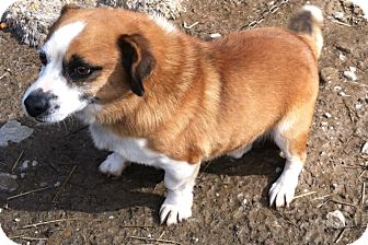 Beagle/Jack Russell Terrier Mix Dog for adoption in Hazard, Kentucky - Petie