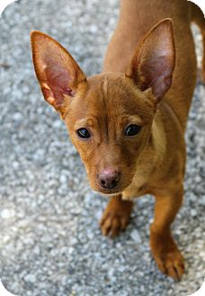 Chihuahua/Dachshund Mix Puppy for adoption in Muskegon, Michigan - Trevor