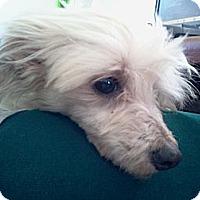 Adopt A Pet :: Pearl (DEAF) - Upper Sandusky, OH