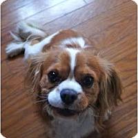 Adopt A Pet :: Dutch - Toluca Lake, CA