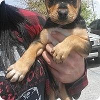 Adopt A Pet :: Bing - Lawrenceville, GA