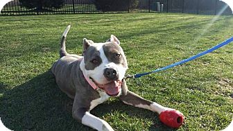 American Staffordshire Terrier/American Pit Bull Terrier Mix Dog for adoption in Warrenville, Illinois - Effa - NOT AVAILABLE