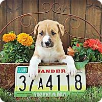 Adopt A Pet :: Indy - Austin, TX