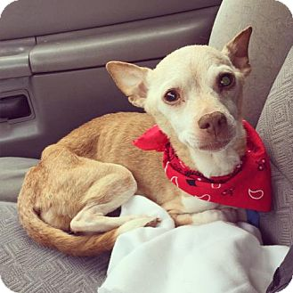 Chihuahua Dog for adoption in Johnson City, Tennessee - Loretta