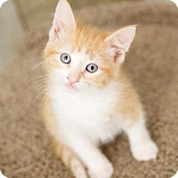 Adopt A Pet :: Twinkie Sweet-Treat - St. Paul, MN