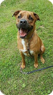 Boxer/Shepherd (Unknown Type) Mix Dog for adoption in South Park, Pennsylvania - Jax