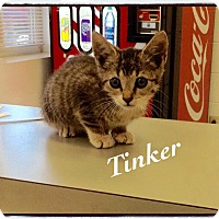 Domestic Shorthair Kitten for adoption in Dillon, South Carolina - Tinker