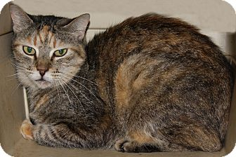 American Shorthair Cat for adoption in Torrance, California - Cara