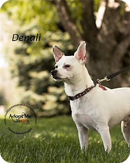 Chihuahua Dog for adoption in Council Bluffs, Iowa - Denali