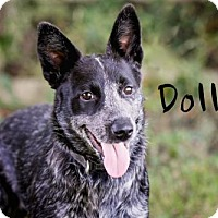 Adopt A Pet :: Dolly - Joliet, IL