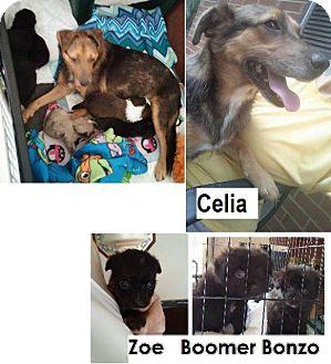 Shepherd (Unknown Type) Mix Puppy for adoption in Danbury, Connecticut - Boomer