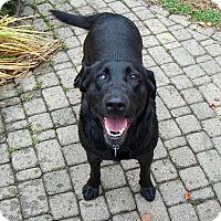 Labrador Retriever Dog for adoption in Towson, Maryland - Sheila