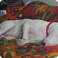 Bull Terrier Puppy for adoption in Santa Ana, California - Walter
