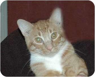 Bengal Cat for adoption in Chula Vista, California - Casey Girl