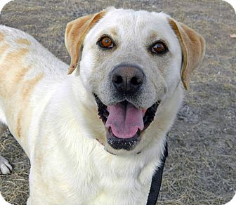 Labrador Retriever Mix Dog for adoption in Cheyenne, Wyoming - Ranger