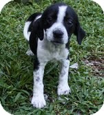 Beagle/Spaniel (Unknown Type) Mix Dog for adoption in Allentown, Pennsylvania - Dottie