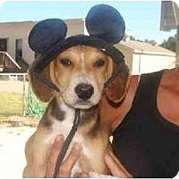 Adopt A Pet :: Roan - Alexandria, VA