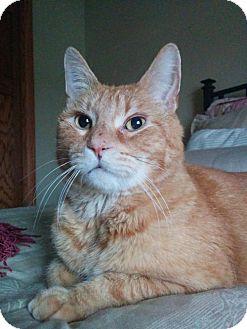 Domestic Shorthair Cat for adoption in South Saint Paul, Minnesota - Tig