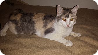 Calico Cat for adoption in Mesa, Arizona - Cali