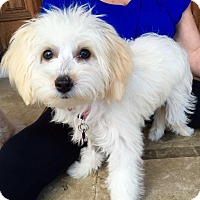 Adopt A Pet :: Puppy Lucy - Encino, CA