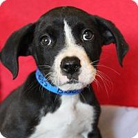 Adopt A Pet :: Blue - Waldorf, MD