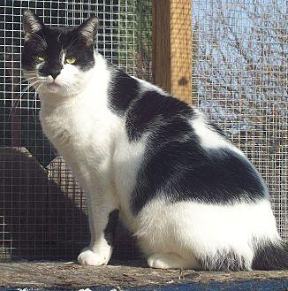 Domestic Shorthair Cat for adoption in Elk Grove, California - Rembrandt