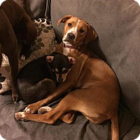 Adopt A Pet :: Ariel - Hanover, PA