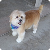Lhasa Apso/Terrier (Unknown Type, Small) Mix Dog for adoption in Quail Valley, California - Koala