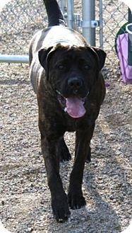Mastiff Mix Dog for adoption in Sierra Vista, Arizona - Pony