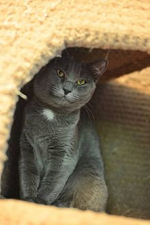 Domestic Shorthair Cat for adoption in Beacon, New York - Maggie