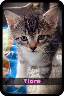 Domestic Shorthair Kitten for adoption in Hartford City, Indiana - Tiara