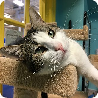 Domestic Shorthair Cat for adoption in Toronto, Ontario - Waffles