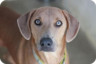 Blue Lacy/Texas Lacy Mix Dog for adoption in Kyle, Texas - COPPER