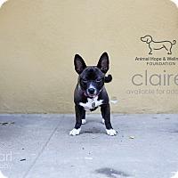 Adopt A Pet :: Claire - Sherman Oaks, CA