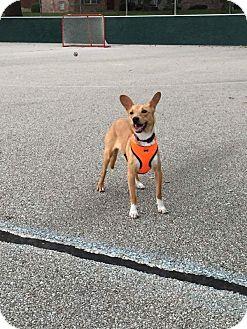Basenji/Italian Greyhound Mix Dog for adoption in Normal, Illinois - Charlotte