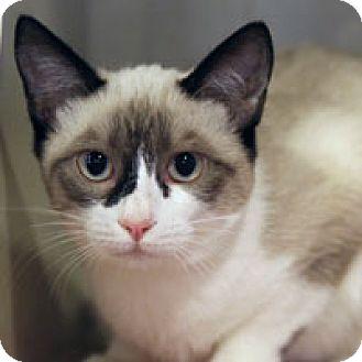 Siamese Cat for adoption in Pacific Grove, California - Yum Yum
