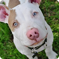 Pit Bull Terrier/American Staffordshire Terrier Mix Puppy for adoption in College Station, Texas - Gunner