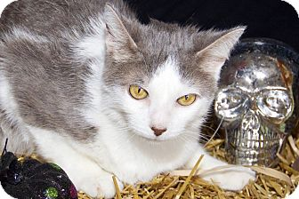 Domestic Shorthair Cat for adoption in Livonia, Michigan - Smoke